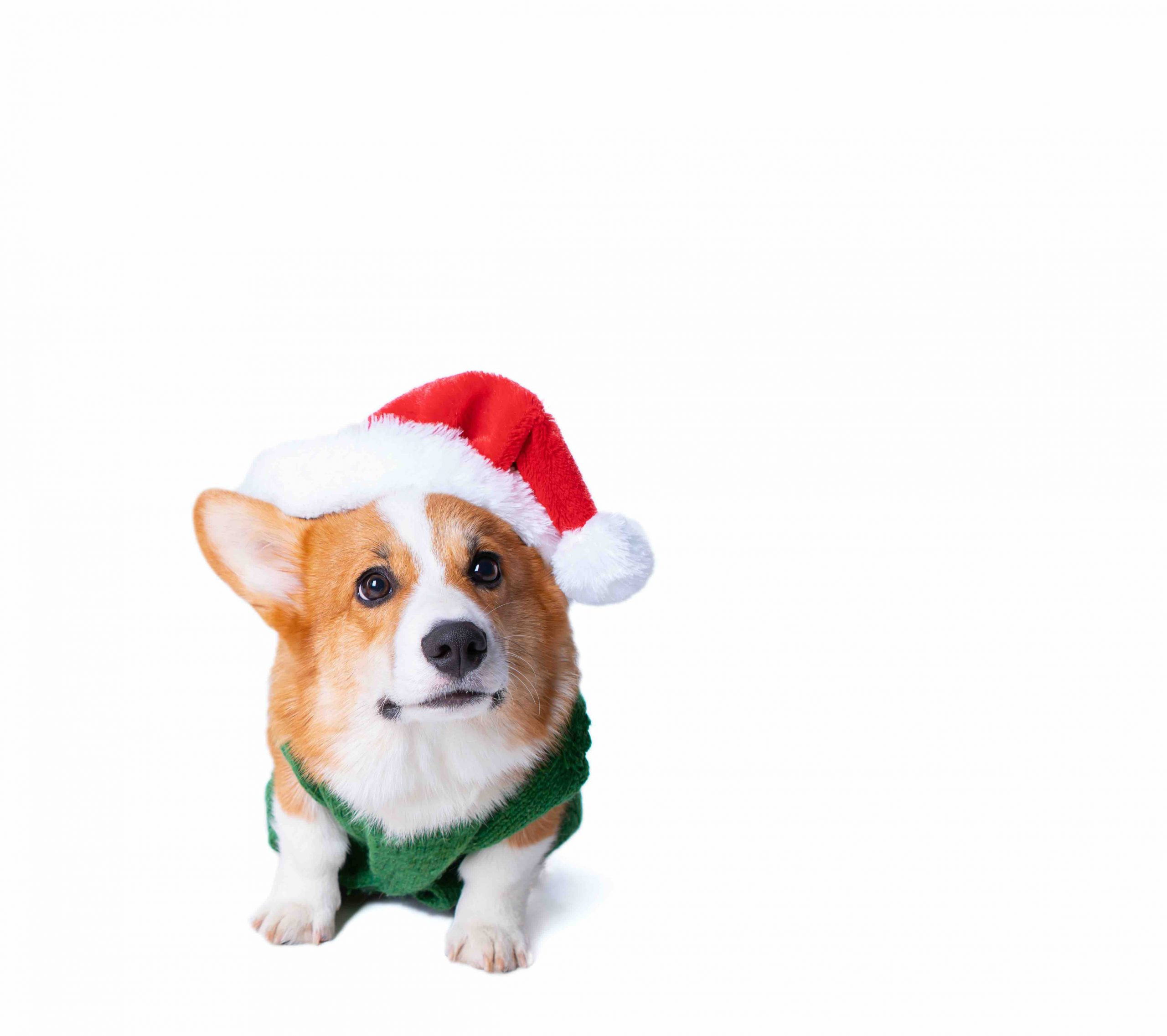 Portrait of the little funny puppy corgi in red santa claus cap, standing in studio isolated on white background